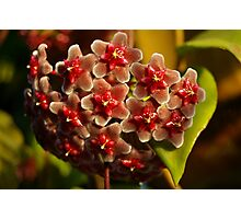 Red Hoya Photographic Print