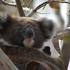 Young koala - Adelaide Hills by yeuxdechat