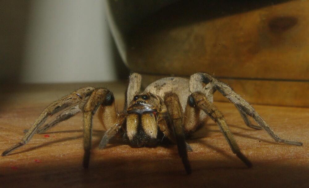 Wolf Spider by yeuxdechat