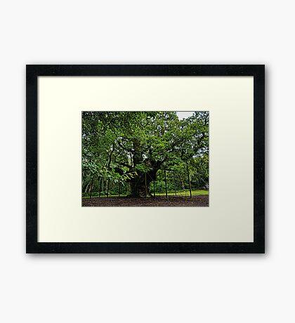 The Major Oak Framed Print