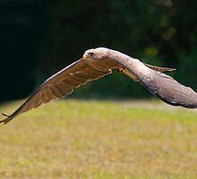 Harris Hawk In Flight by imagetj
