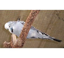 Looking Down - Grey Budgie Photographic Print
