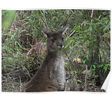 young wallaby Poster