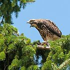 Young Swainson's Hawk by Eivor Kuchta