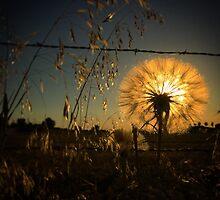 Illuminating dandelion at dusk by JULIENICOLEWEBB