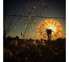 Illuminating dandelion at dusk Photographic Print