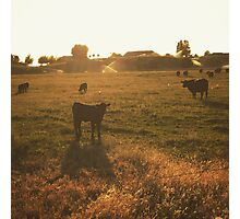 Cattle at sunset Photographic Print