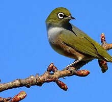 Never Look Back!!! - Silvereye - NZ - Southland by AndreaEL