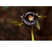 0945 Black Christmas Rose Photographic Print