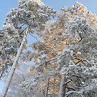 Towering Pines in Stockholm by nickspics