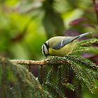 Pecking Blue Tit by kernuak