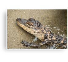 Young American Alligator Canvas Print