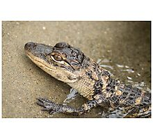 Young American Alligator Photographic Print