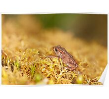 Common Toadlet Side View Poster