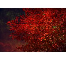 Red Maple Tree Photographic Print