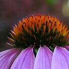 Purple Coneflower by BonnieJames