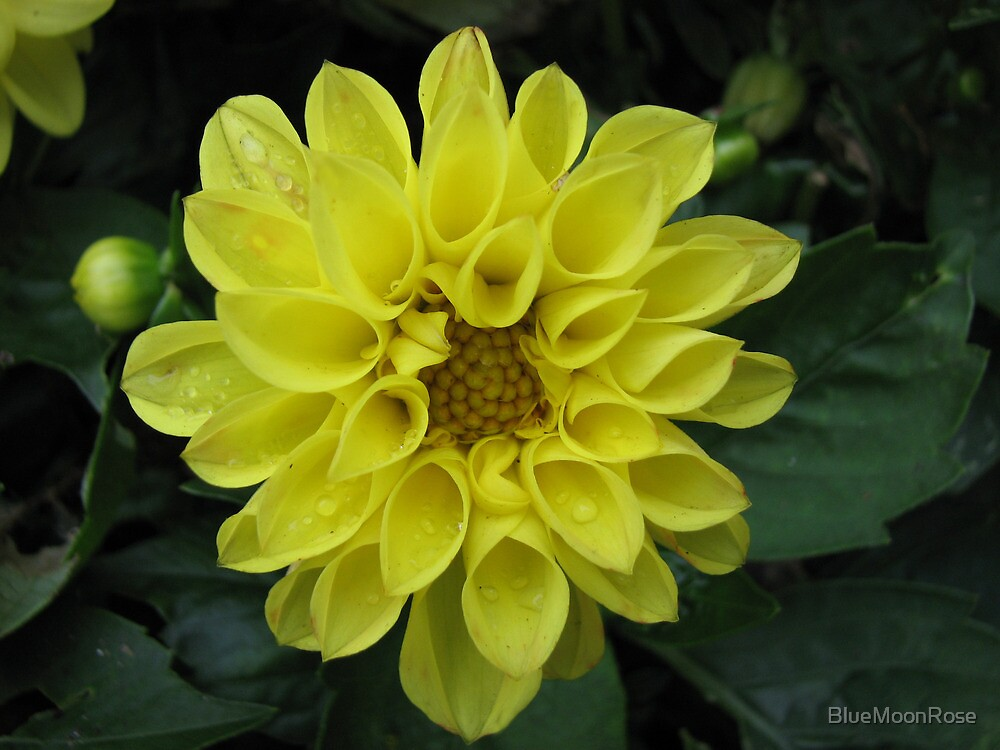 Raindrops on Yellow Dahlia by BlueMoonRose
