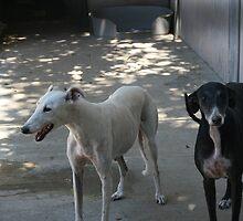 Anita & Agatha / Protectora Galgo`s de España #9 by homesick
