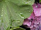 Rain Relief - Hydrangea by Barbara Burkhardt