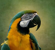 Blue & yellow macaw by LudaNayvelt