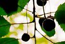Wild Cherries (Prunus avium) by David Isaacson