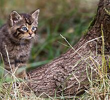 Wild Cat Kitten by Peter Denness