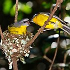 Eastern Yellow Robins, Lamington NP by David Woolcock