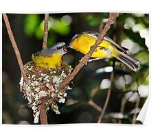 Eastern Yellow Robins, Lamington NP Poster