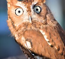 "Eastern Screech Owl ""Red Phase"" by Jeff Ore"