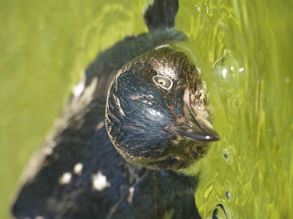 Little Penguin (Eudyptula minor) by weigi