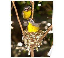 Eastern Yellow Robins, Lamington NP, Autsralia Poster