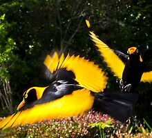 Male Regent Bower Birds by David Woolcock