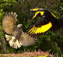 Pair of Regent Bower Birds, Lamington NP,Australia by David Woolcock