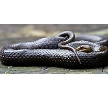 Black-Bellied Swamp Snake, Hemiaspis signata Photographic Print