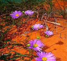 """Shark Bay Daisies at Big Lagoon"" Shark Bay, Western Australia by wildimagenation"