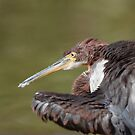 Tricolored Heron by tomryan