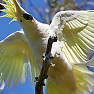 Sulpur Crested Cockatoo by Bill  Robinson