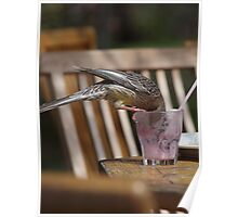 Red Wattle Bird Having a Milkshake. Poster