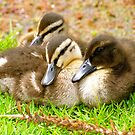 Three little ducks went out one day ... by Ali Brown
