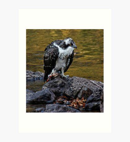 Osprey Eating Fish Art Print