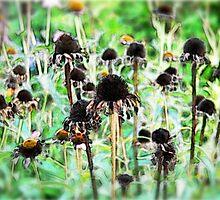 Echinacea by samos