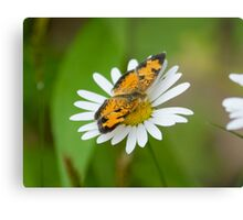 A Little crescentspot Daisy Topper Metal Print