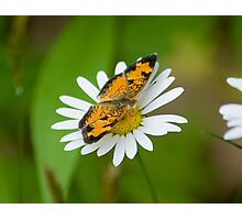 A Little crescentspot Daisy Topper Photographic Print