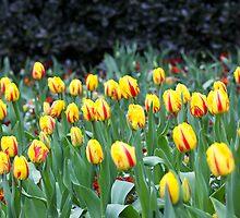 Tulips at Regent Park by SANQ8