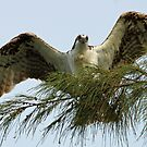 osprey displaying wingspan by jozi1