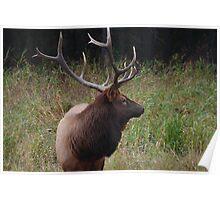 Bull elk I Poster