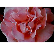 Pink Rose in Full Bloom. Photographic Print
