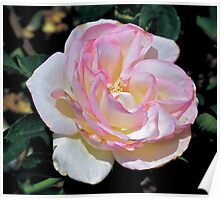 One Stunning Rose Poster