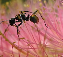 Green ant on stealing nectar on Bottlebrush by Peter Ward