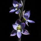 Native Orchids of South Australia by LeeoPhotography